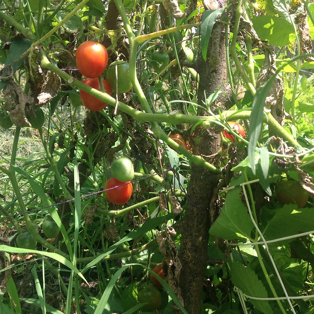 Growing cherry tomatoes is like cheating