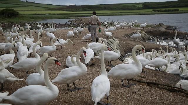 Swannery at Abbotsbury, Dorset