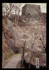 竹田の岡城祉下の桜