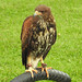 A young Harris Hawk at Cressing Temple Barns, Essex