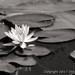 Waterlily by Deborah Kral