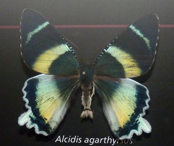 Alcides agathyrsus 36104135253_93ac1a37db_o