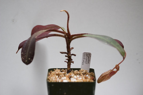 Nepenthes peltata [BE-3464]