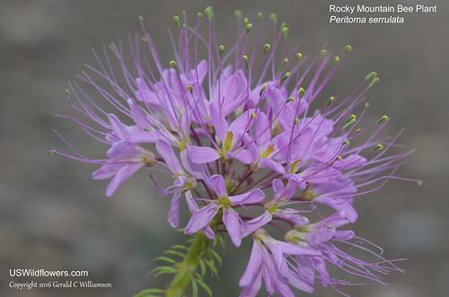 Rocky Mountain Bee Plant, Stinking Clover, Skunk Weed, Navajo Spinach - Peritoma serrulata