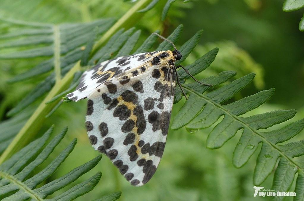 P1100286 - Magpie Moth - Isle of Mull