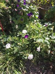 Datura in FW garden