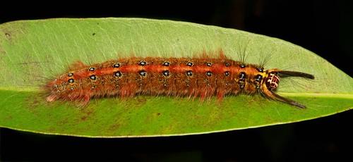 Prepupal Lappet Moth Caterpillar (Trabala sp., Lasiocampidae)
