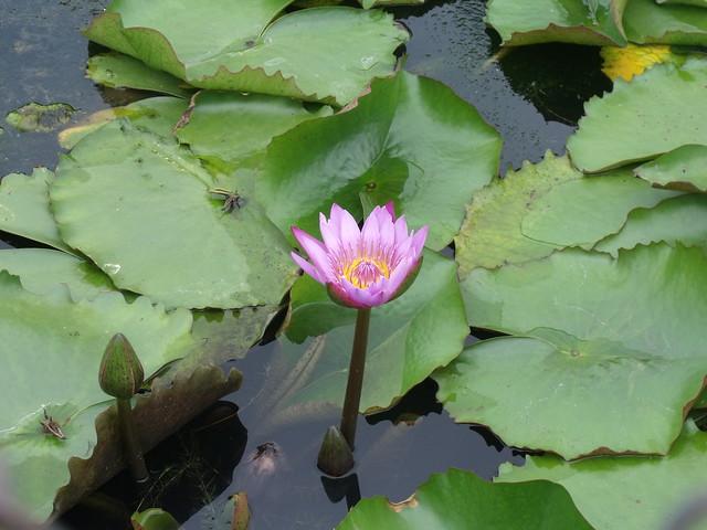 Lotus From India, Fujifilm FinePix S1500
