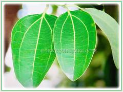 Petiolate medium green adult leaves of Cinnamomum verum (Cinnamon, True Cinnamon, Ceylon/Cassia Cinnamon, Cinnamon Bark Tree, Kayu Manis in Malay) with three yellow veins from the base to the tip, 17 Aug 2017