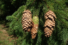 Picea abies (Norway Spruce)