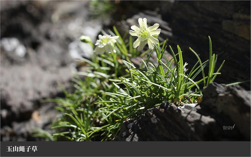 玉山蠅子草