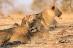 Lion and Lioness in the Wild Zimbabwe Africa
