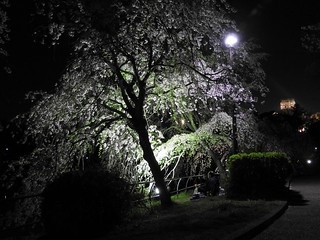 千葉公園綿打池 夜桜ライトアップ12