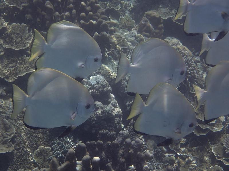 Golden spadefish_золотой пагуар (рыба-лопата)_P8070370+