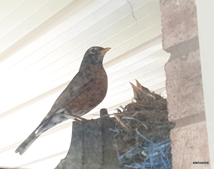 dad robin next to nest