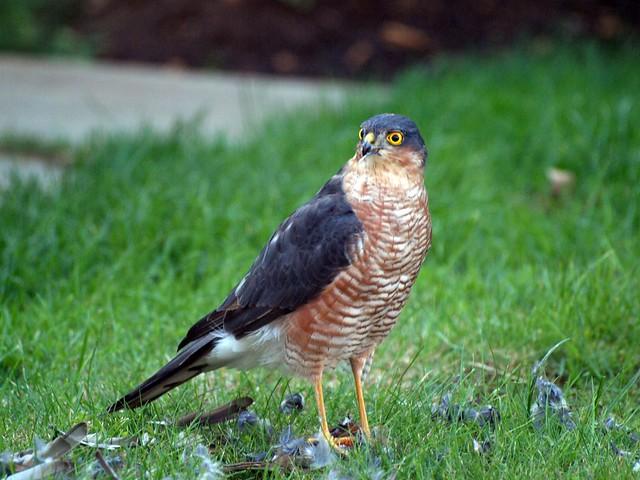 P1015434 Sparrow Hawk