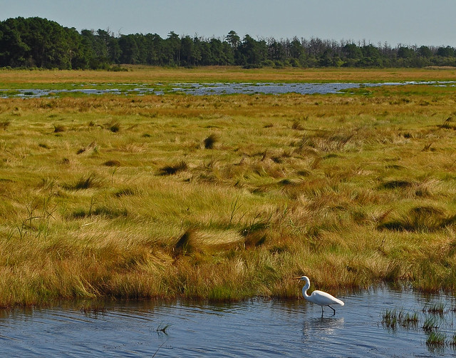 Assateague Marsh with Great Heron (1)