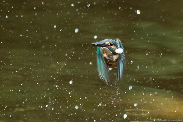 20170913-kingfisher-DSC_3293