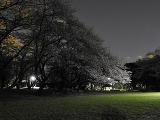 千葉公園お花見広場 夜桜08