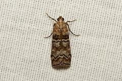 Acrobasis comptella - Hodges # 5656,