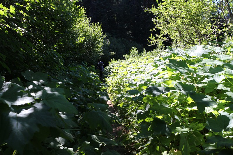Hiking through a sunny patch of Thimbleberry plants on the Phelps Creek Trail