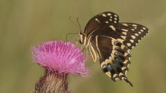 Palamedes Swallowtail- Aripeka Sandhills Preserve