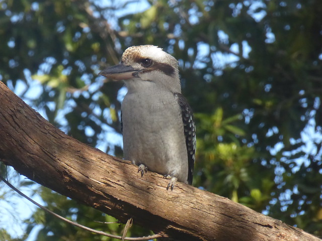 Kookaburra sitting in an, Panasonic DMC-TZ60