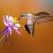 Black-chinned Hummingbird (female) by Eric Gofreed