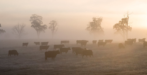cows cow bovine grazing pasture agriculture tasmania australia trees fog mist early morning sunrise cold winter farm farming