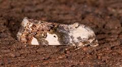 Exposed Bird-dropping Moth