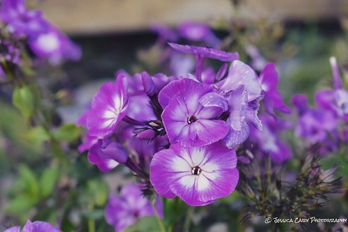 amateurphotogrpahy adirondacks landscapephotography photography flower amateurphotographer purple