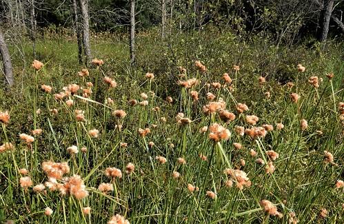 Tawny Cottongrass (Eriophorum virginicum)