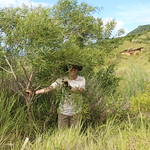 Acacia confusa reforestation project, 2 years growth