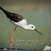 Black Winked stilt hunting