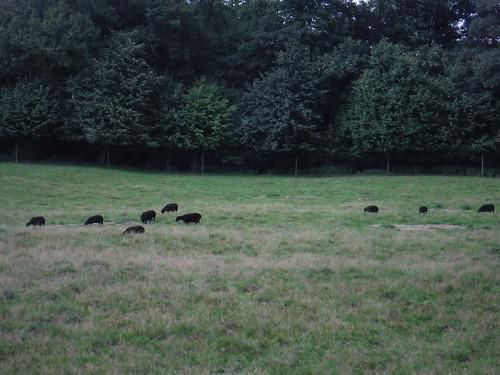Sheep in Field, Tillington