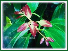 Captivating pinkish to reddish emerging leaves of Cinnamomum verum (Cinnamon, True Cinnamon, Ceylon/Cassia Cinnamon, Cinnamon Bark Tree, Kayu Manis in Malay), 17 Aug 2017