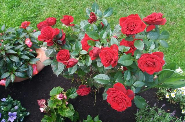 Unsere Rosen im zweiten Jahr