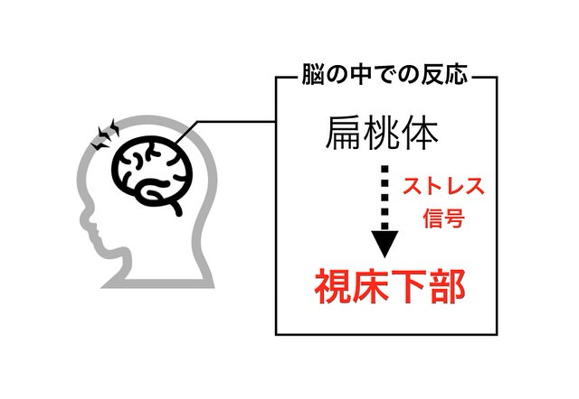 扁桃体から視床下部への反応