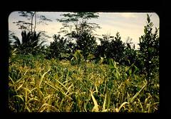 Mixing Cropping Of Unpandrice And Cassava = 陸稲とキャッサバの混作