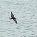 Hunting Black Tern