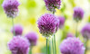 Purple Alliums In Macro At Wisley Gardens by Peter Greenway