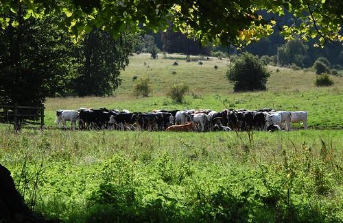 parkrun 153 - cows