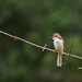 Small photo of Yellow Eyed Babbler