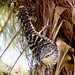 Gray-Barred Wren B027388focF por jvpowell