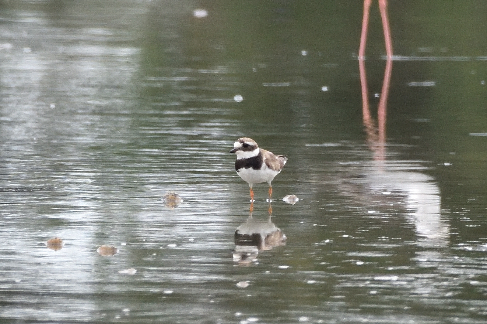 Common_Ringed_Plover_5687_O