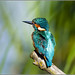 Small photo of Kingfisher (Alcedo atthis)
