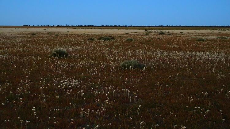 Spot the Plains Wanderer! Hay Plain at Dusk, via Deniliquin, New South Wales