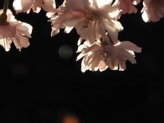 かわいい妖精たち 桜編01