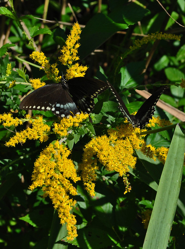 Solidago (Goldenrod) with Spicebush Swallowtail (2)