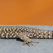 Common wall lizard (Podarcis muralis) by Snoortsch